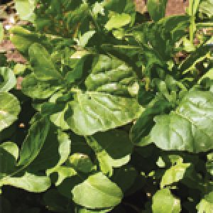 Aimers Organic Herb & Vegetable Seeds Archives   OSC Seeds