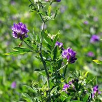 Legume & Forage Crop Seeds