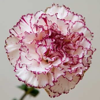 Chabauds Giant Carnation Seeds Mixed Colours 6395 Osc Seeds