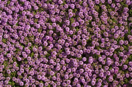 Creeping Thyme 6355 Osc Seeds, Creeping Jenny Ground Cover Seeds