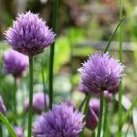 Organic Chive Seeds