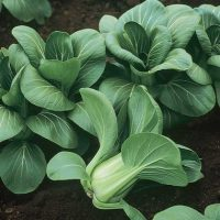Aimers International Cabbage Seeds