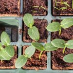 How to start seeds indoors from OSC Seeds