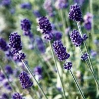Flower Seed: Perennials and Biennials