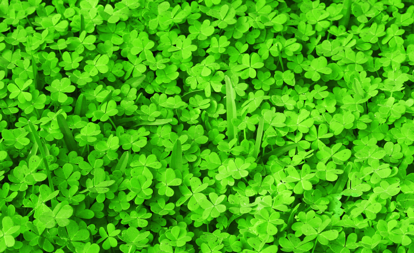 Pipolina Micro Clover Seeds 6737 Osc